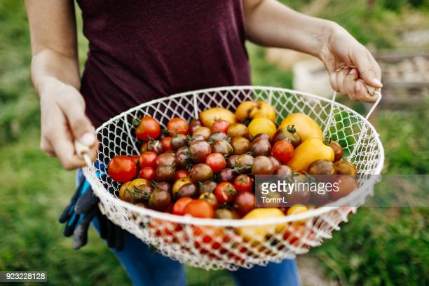 close up of freshly harvested heirloom tomatoes - tomato stock pictures, royalty-free photos & images