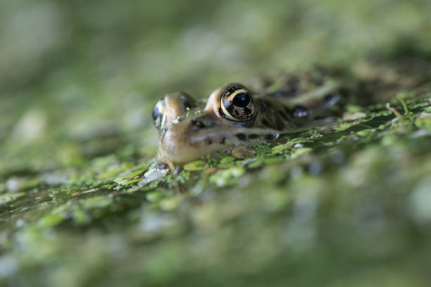 Close up of frog in water, Rosemere, Canada