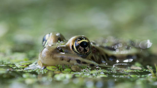 Close up of frog submerged in water, Rosemere, Canada
