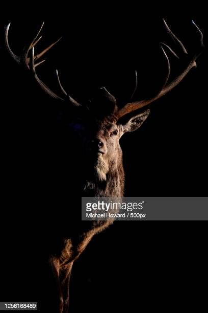 close up of frontal view of red deer (cervus elaphus) stag with big antlers in dark, knutsford, cheshire, uk - stag stock pictures, royalty-free photos & images