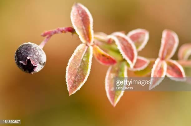 Close up of frosty blueberry plant