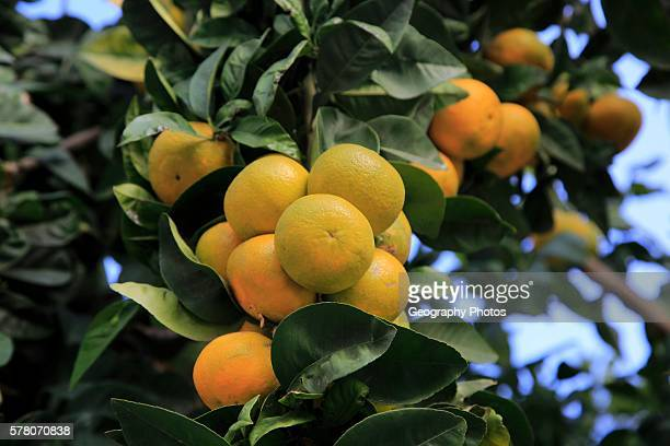 Close up of fruit and leaves of orange tree Spain