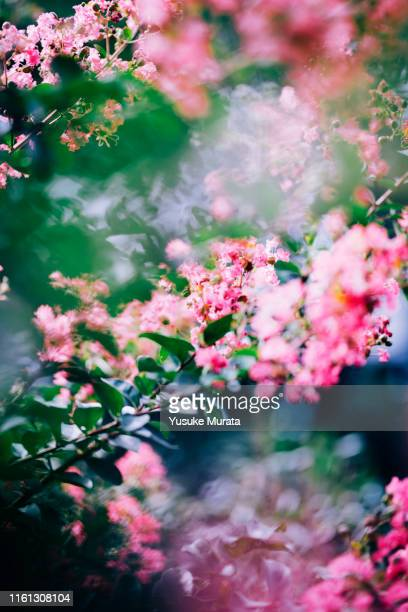 close up of full broom crape myrtle - crepe myrtle tree stock pictures, royalty-free photos & images
