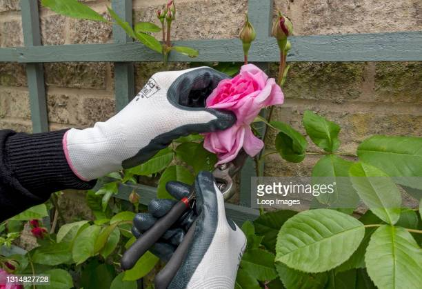 Close up of gardener deadheading a pink rose 'Gertrude Jekyll' with secateurs in summer.