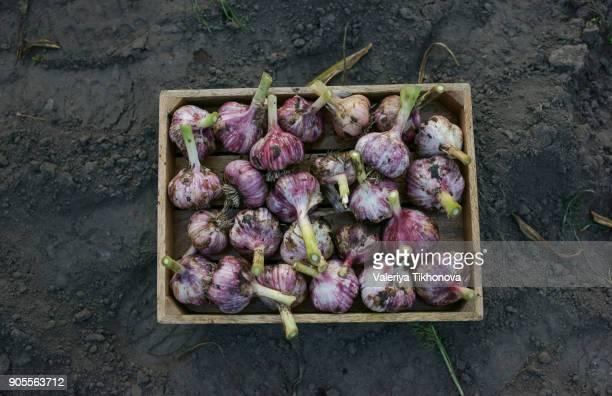 close up of garlic in basket - blumenzwiebel stock-fotos und bilder