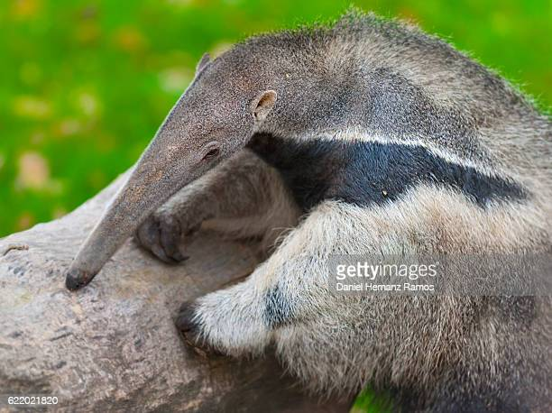 close up of giant anteater. myrmecophaga tridactyla - anteater stock pictures, royalty-free photos & images