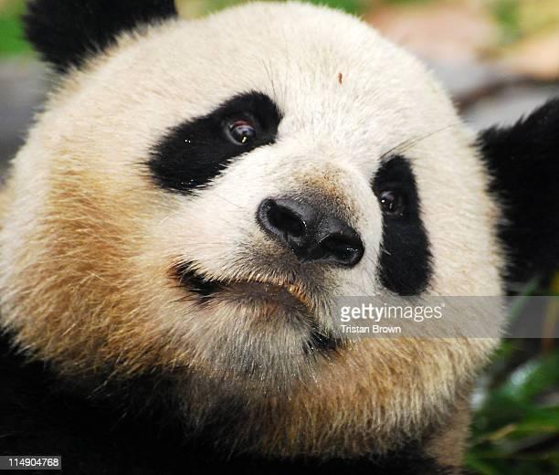 Close up of giant panda, China