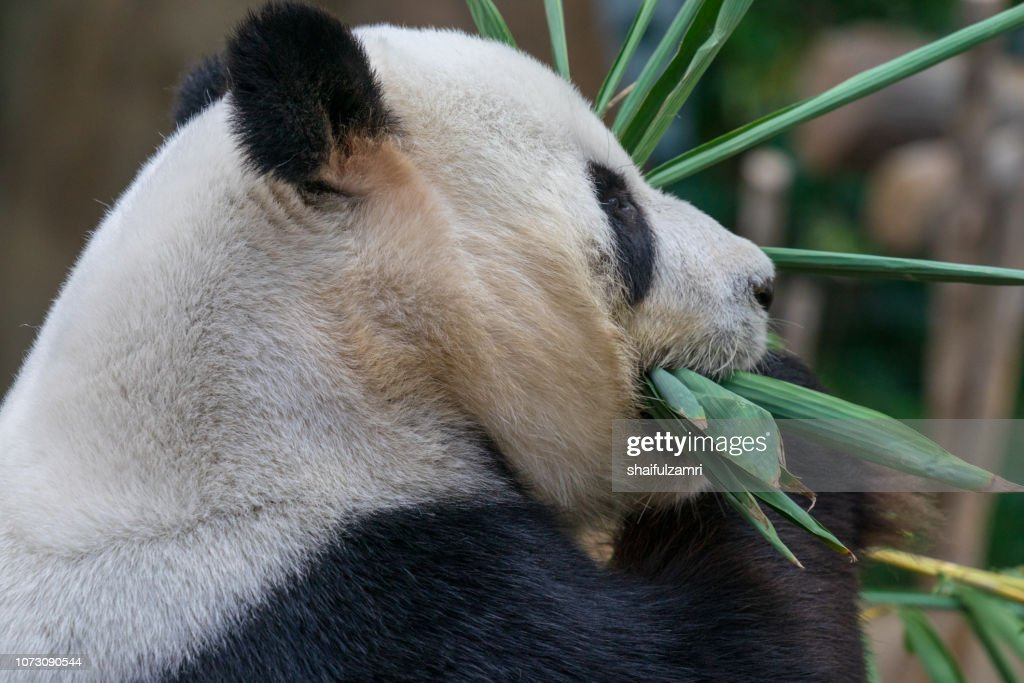 Close up of giant panda sitting and eating bamboo surrounded with fresh bamboo. : Stock Photo