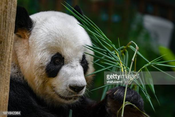 Close up of giant panda sitting and eating bamboo surrounded with fresh bamboo.