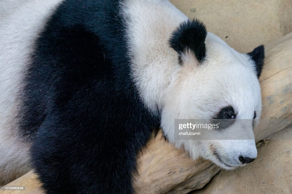 Close up of giant panda sleeping on a log. Enjoying an afternoon nap after eating fresh bamboo. : Stock Photo