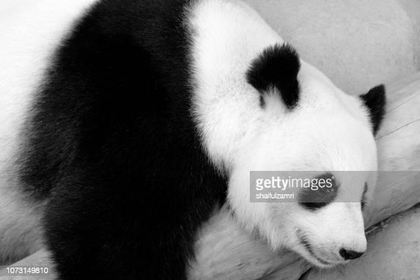 close up of giant panda sleeping on a log. enjoying an afternoon nap after eating fresh bamboo. - shaifulzamri stock pictures, royalty-free photos & images