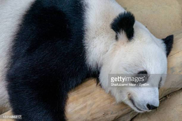 close up of giant panda sleeping on a log. enjoying an afternoon nap after eating fresh bamboo. - shaifulzamri foto e immagini stock