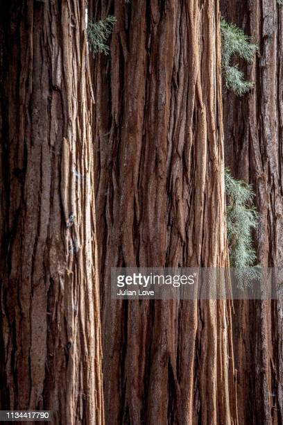 close up of giant sequoia tree trunk, sequoia national park, california - sequoia tree stock pictures, royalty-free photos & images
