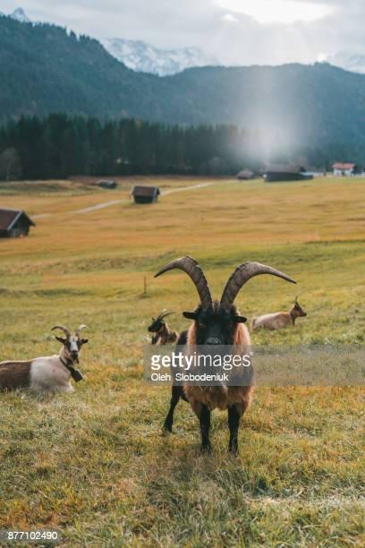Close up van geiten in Alpen bij zonsondergang