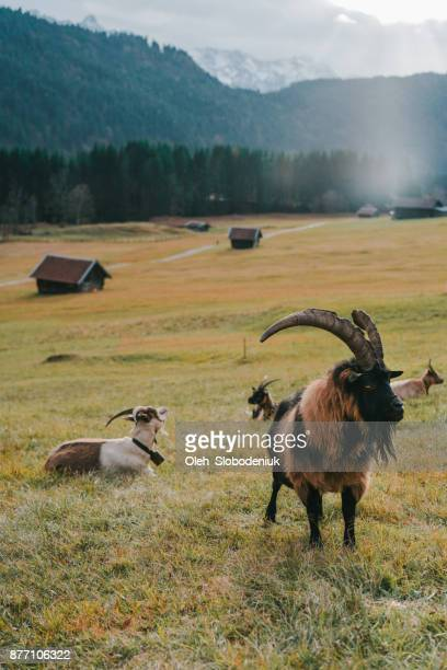 Close up of goats in Alps at sunset