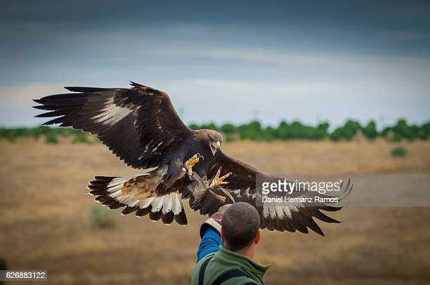 close up of golden eagle in flight landing on a falconer. falconry - aguila real fotografías e imágenes de stock
