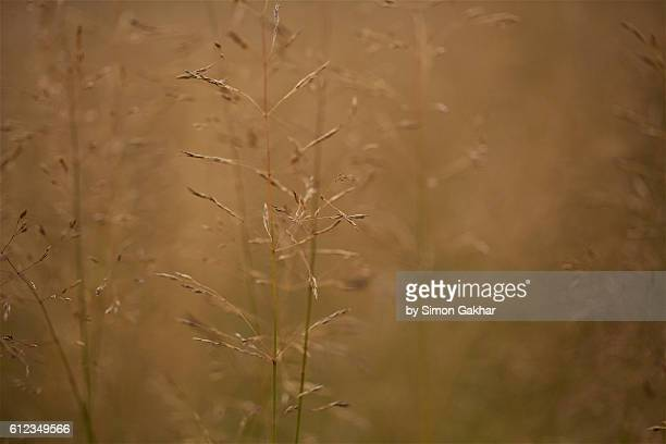 close up of golden grass - long stem flowers stock pictures, royalty-free photos & images