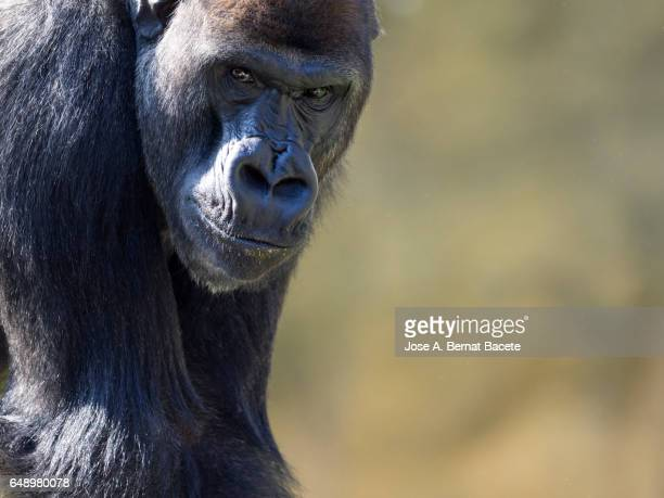 Close up of gorilla, head of a gorilla looking at the camera