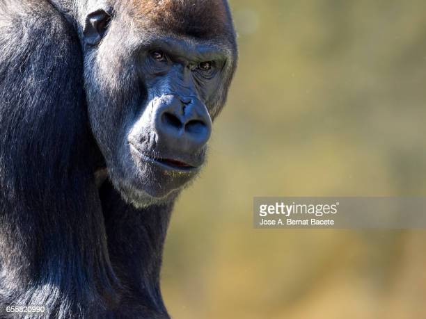 Close up of gorilla, photo of head dwelling to the camera