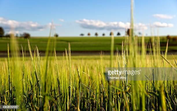 Close up of grain field