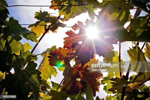 Close up of grape vineyards with sun shining.