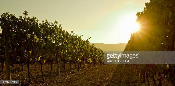 Close up of grapevines at sunset, Tuscany, Italy