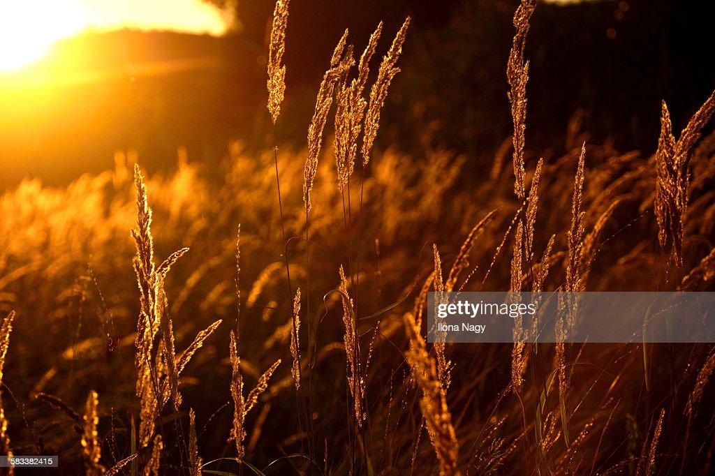 Close up of grass at sunset : Stock Photo