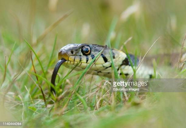 Close up of Grass Snake, Norfolk.