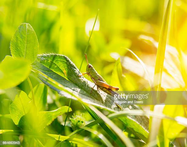 Close up of grasshopper on green leaf