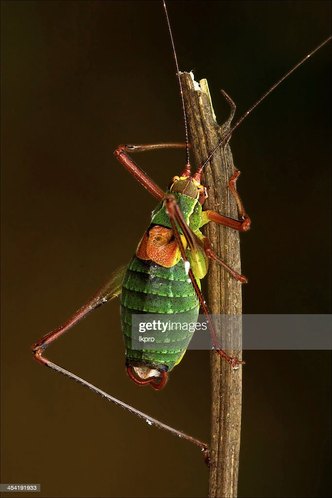 Primer plano de saltamontes Orthopterous Tettigoniidae en : Foto de stock