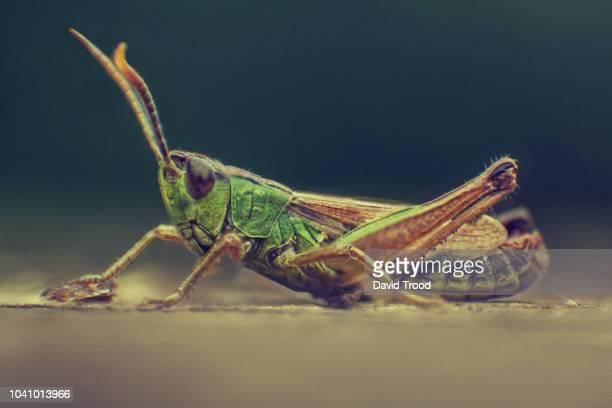 close up of grasshopper - gafanhoto imagens e fotografias de stock