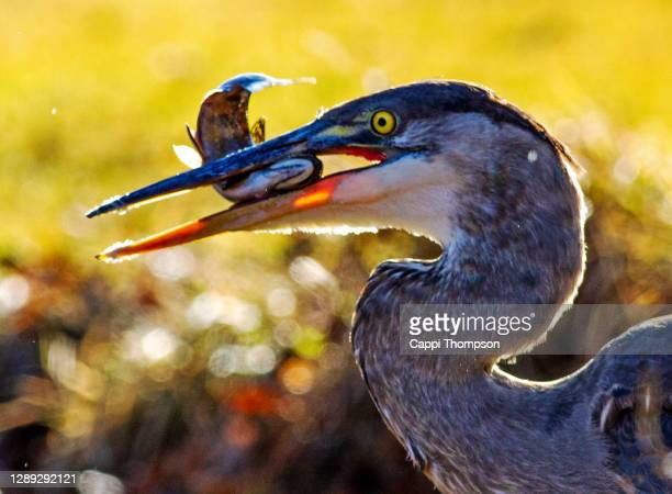 close up of great blue heron with brook trout in beak - 食物連鎖 ストックフォトと画像
