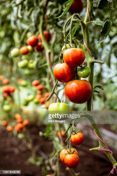 close up of green and red tomatoes on a vine. - cultivated stock pictures, royalty-free photos & images