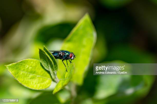 close up of green bottle fly on a leaf - bottle green stock pictures, royalty-free photos & images