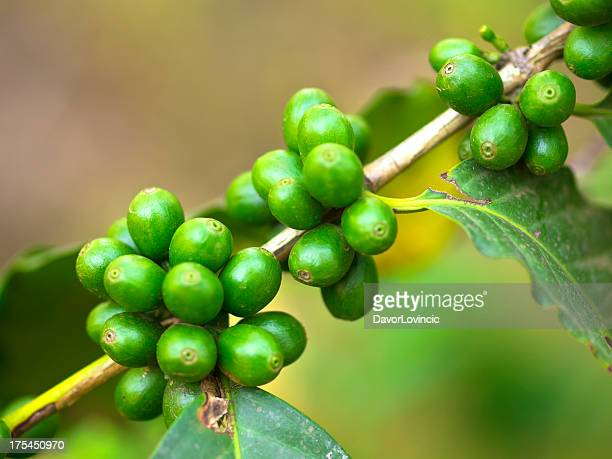 Close up of green coffee beans growing on plant