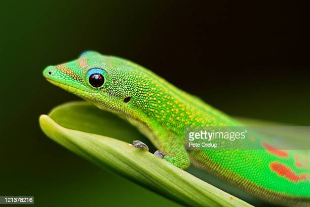 Close up of green gecko on spider lily leaf