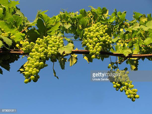 Close up of green grapes against blue sky