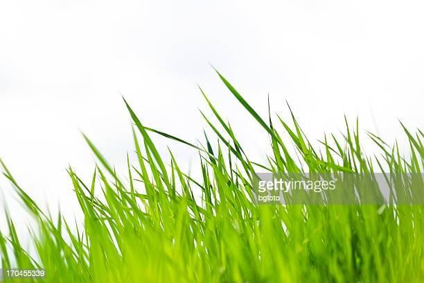 Close up of green grass blades
