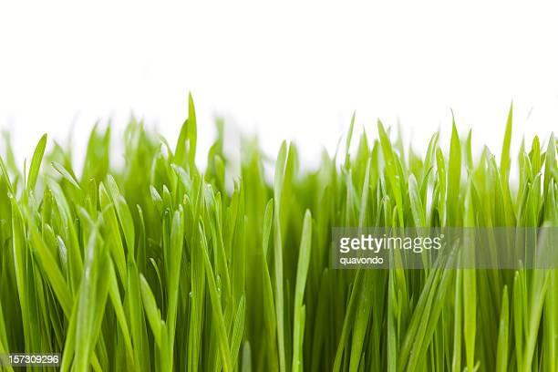 Nahaufnahme von grünen Gras auf weiß mit Textfreiraum