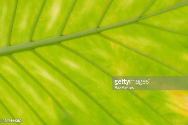 close up of green leaf - estampa de folha - fotografias e filmes do acervo