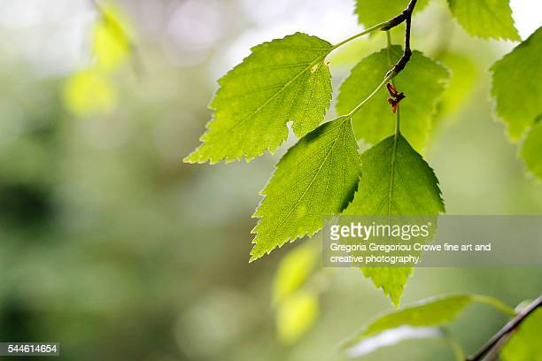 close up of green leaves - gregoria gregoriou crowe fine art and creative photography. stock photos and pictures