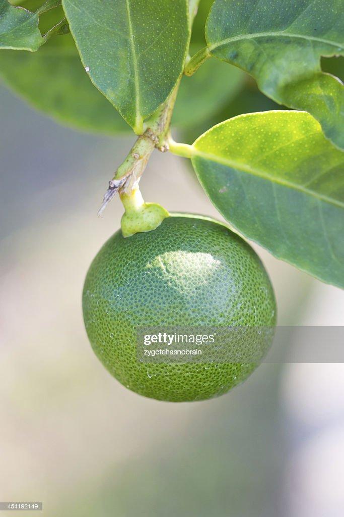 Close up of green lemon. : Stock Photo