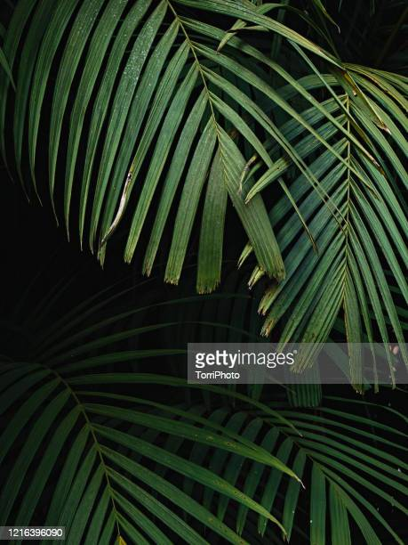 close up of green palm leaves background - tropical tree stock pictures, royalty-free photos & images