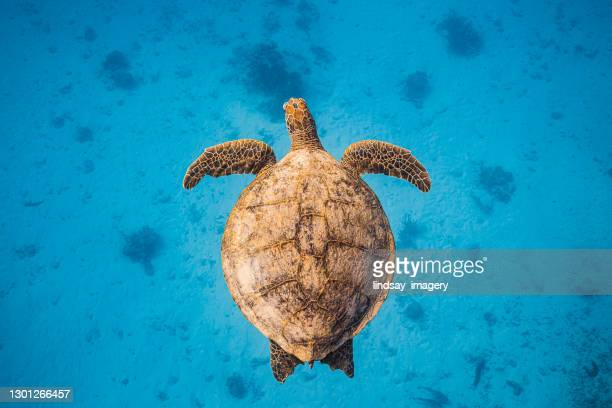 close up of green sea turtle swimming through clear blue ocean - underwater stock pictures, royalty-free photos & images