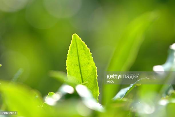 close up of green tea leaves - uji kyoto stock pictures, royalty-free photos & images