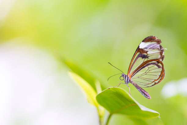 Free Glasswing Butterfly Images Pictures And Royalty Free Stock
