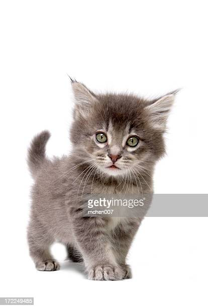 Close up of grey kitten on a white background