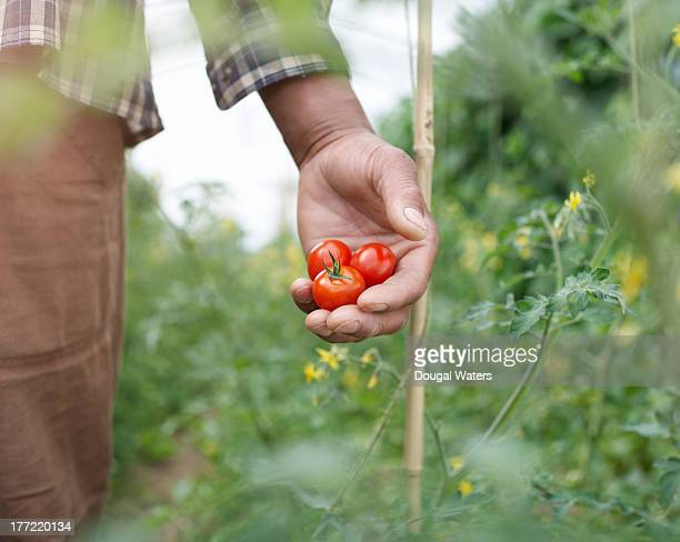 close up of hand holding tomatoes. - cultivated stock pictures, royalty-free photos & images