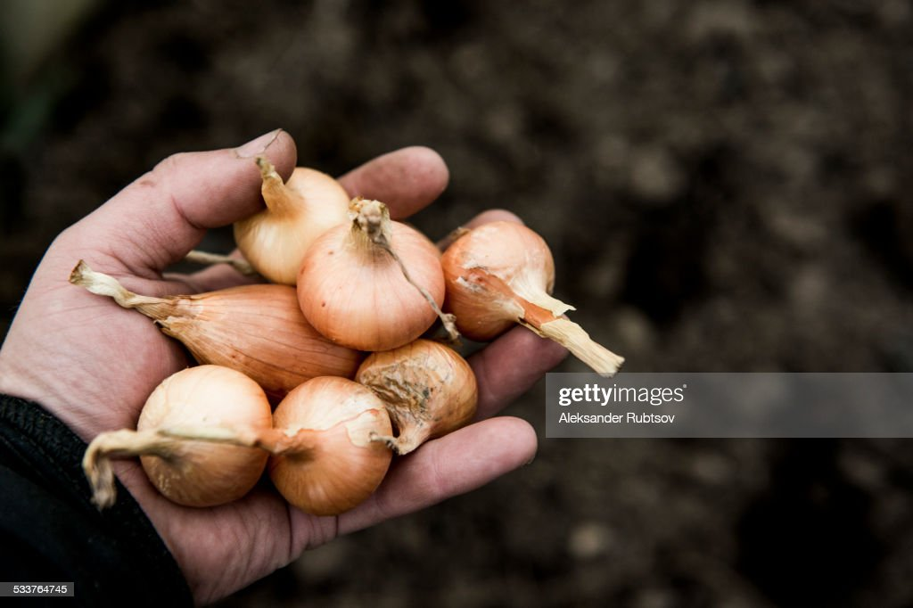Close up of hand holding variety of onions : Foto stock