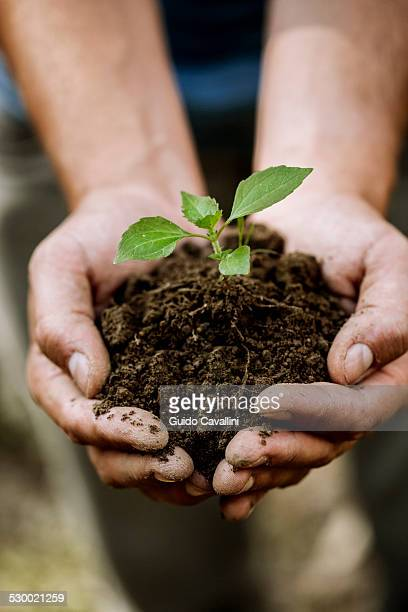 Close up of hand of young male farmer holding soil and seedling, Premosello, Verbania, Piemonte, Italy